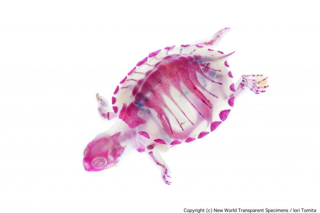 animaux transparents par  Iori Tomita (2)