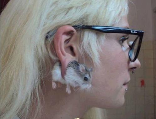piercing hamster
